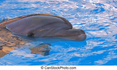 Dolphin swimming in blue water, ,
