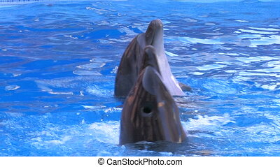 Two dolfins moving around in blue water, closeup, Canon XH...