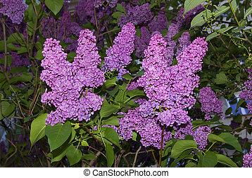 Vibrance Lilac - Lilac bush. Vibrance illumination of...