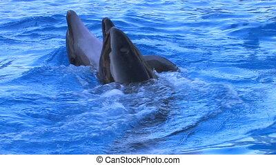 Two Dolphin couples swimming in blue water, closeup, Canon...