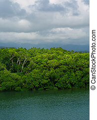 Mangroves at Port Douglas, Queensland - Mangroves grow thick...