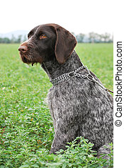Wirehaired Pointer - German Wirehaired Pointer sitting on...