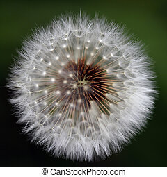 Macro of dandelion - Beautiful macro of a dandelion in a...