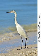 florida birds - Reddish Egret White Morph standing on shore...