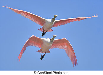 florida birds - Roseate spoonbill in flight. Latin name-...