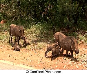young litter of warthog drinking - young litter of warthog...