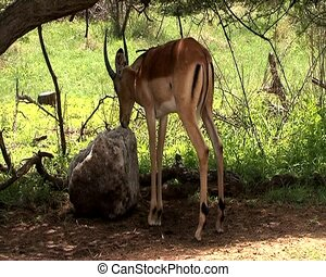 Gazelle licking on a rock salt feed