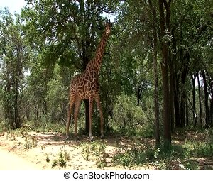 Giraffe grazing on tree top leaves