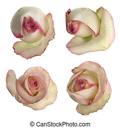 Set of pink roses isolated on white background.