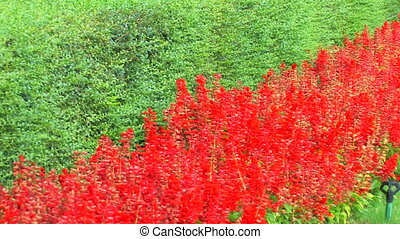 Red flower bed and green grass, Panorama, Canon XH A1,...