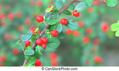 Twig with bright red berries