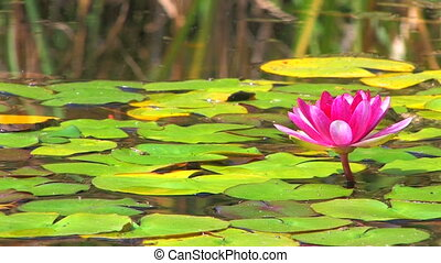 Shining pink water lily surrounded by floating leaves,...