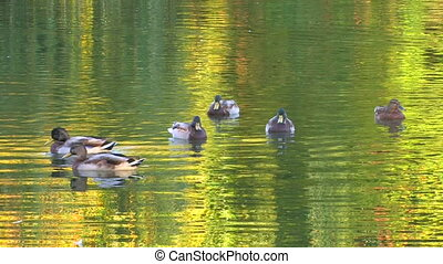 Ducks in green rippled water