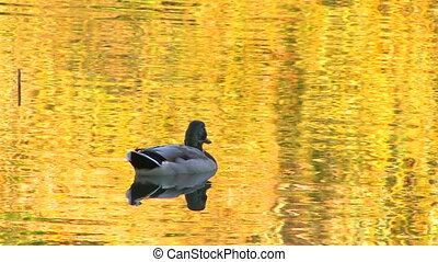 Single duck in gold rippled water