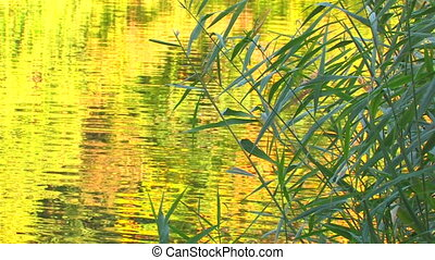 Water surface with moving reeds