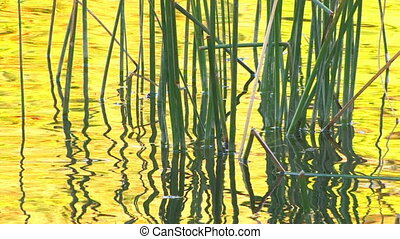 Water surface with reeds at sunset
