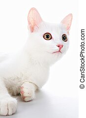 White pet - Image of cute white cat lying in studio over...