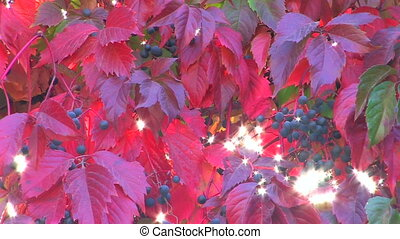 Wildgrape branch with red leaves,
