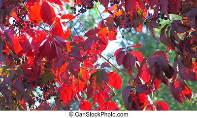 Wildgrape branch with red leaves