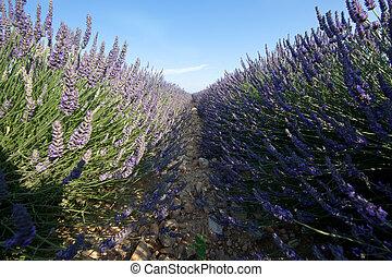 blaues, Lavendel