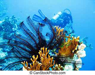 Undersea scene - A crinoid on a fire coral in the Red Sea.
