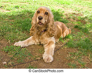 Cute american cocker spaniel