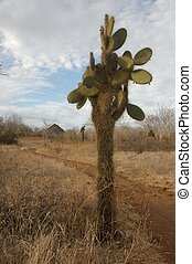Cactus tree found only in Galapagos Islands