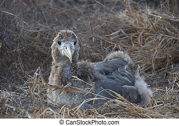 young albatross - fledgling albatross
