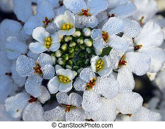 white iberis sempervirens flower - isolated shot of white...