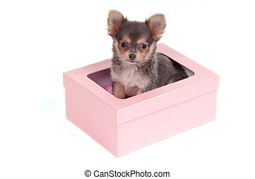 Chihuahua puppy in a box - Smart Chihuahua puppy sitting in...