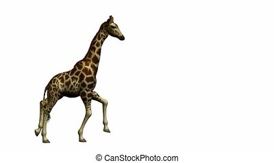 Giraffe Running - Giraffe running on a white background