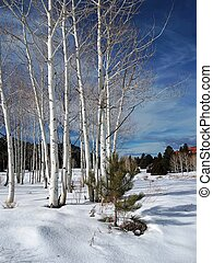 Winter Scene - A clump of aspen trees and a small ponderosa...