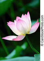 Lotus flower blooming in the pool