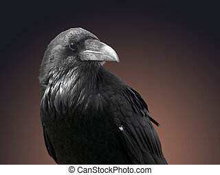 Closeup of Raven - large black bird isolated