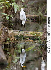 Great Egret Bird in the Everglades - A white Great Egret in...