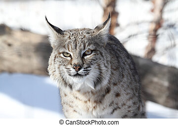 Bobcat Lynx rufus hunting in snow in winter
