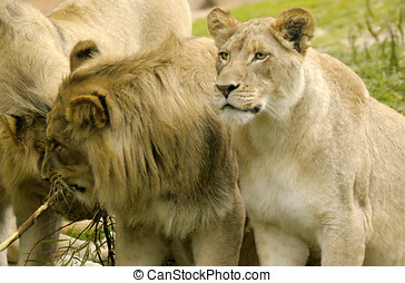 Lioness Matriarch - The Lioness who has taken the leading...