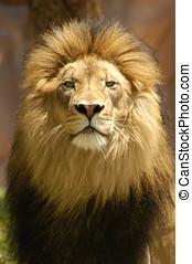 león, rey