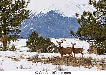 Deer in a Snowy Mountain Meadow - Three deer standing in a...
