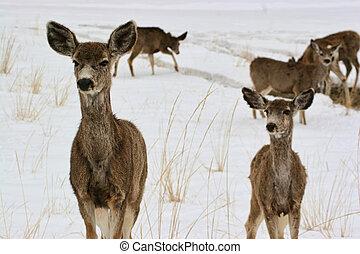 Mule Deer in Snowy Meadow