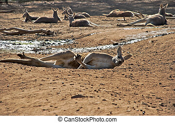 mammal - a kangaroo laying on the ground