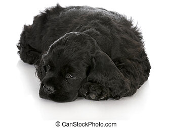 cute puppy - cocker spaniel puppy laying down with...