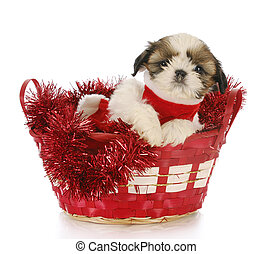 christmas puppy - shih tzu puppy sitting in red christmas...
