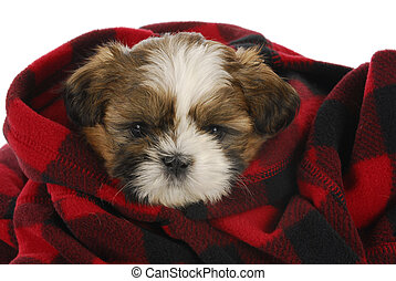cute puppy - shih tzu puppy peeking out of red and black...