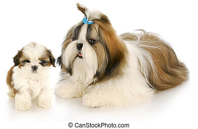 mother and puppy - shih tzu mother and puppy with refection...