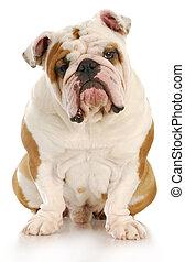 ugly dog - english bulldog sitting looking at viewer with...