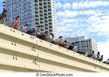 Pigeons in the city of New York