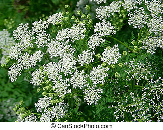 Queen Annes Lace - A patch of Queen Annes lace growing wild...