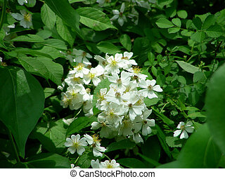 Raspberry Blossoms - Wild raspberry vines in full bloom in...