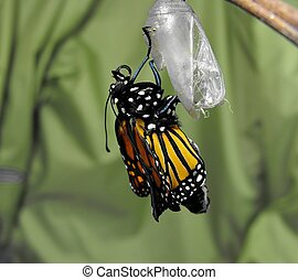Butterfly Emergence - A monarch butterfly expanding its new...